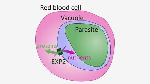 Protein that Helps Malaria Parasite Obtain Nutrients