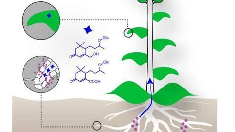 Leaf Molecules Reveal Plant's Healthy Symbiosis