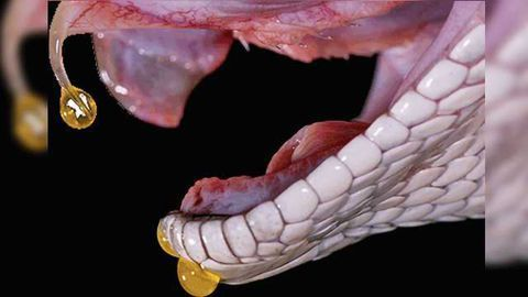 Researchers Are Turning To Deadly Venoms In Their Quests For Life-Saving Therapies