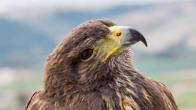 DNA Study Offers Golden Chance to Aid Eagles
