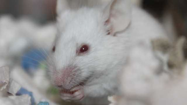 RNA Silencing Protein Blocked in Liver to Prevent Obesity and Diabetes in Mice