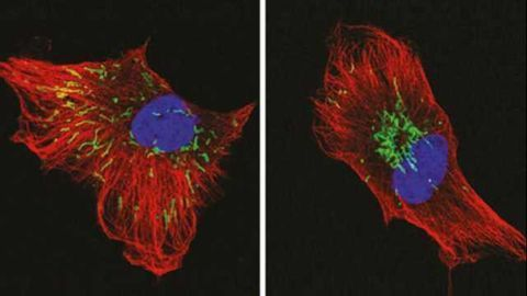 Mitochondria Unite to Fight Cancer Cells