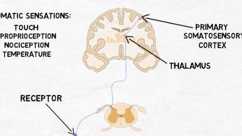 2-Minute Neuroscience: Primary Somatosensory Cortex