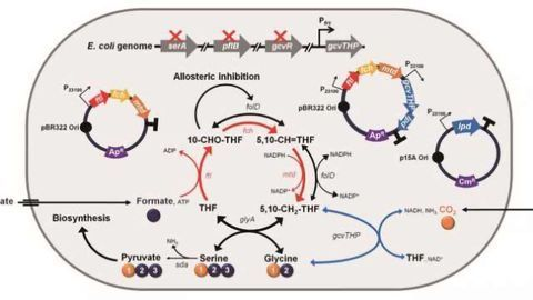 Engineered E. coli Adds Value in Chemical Production