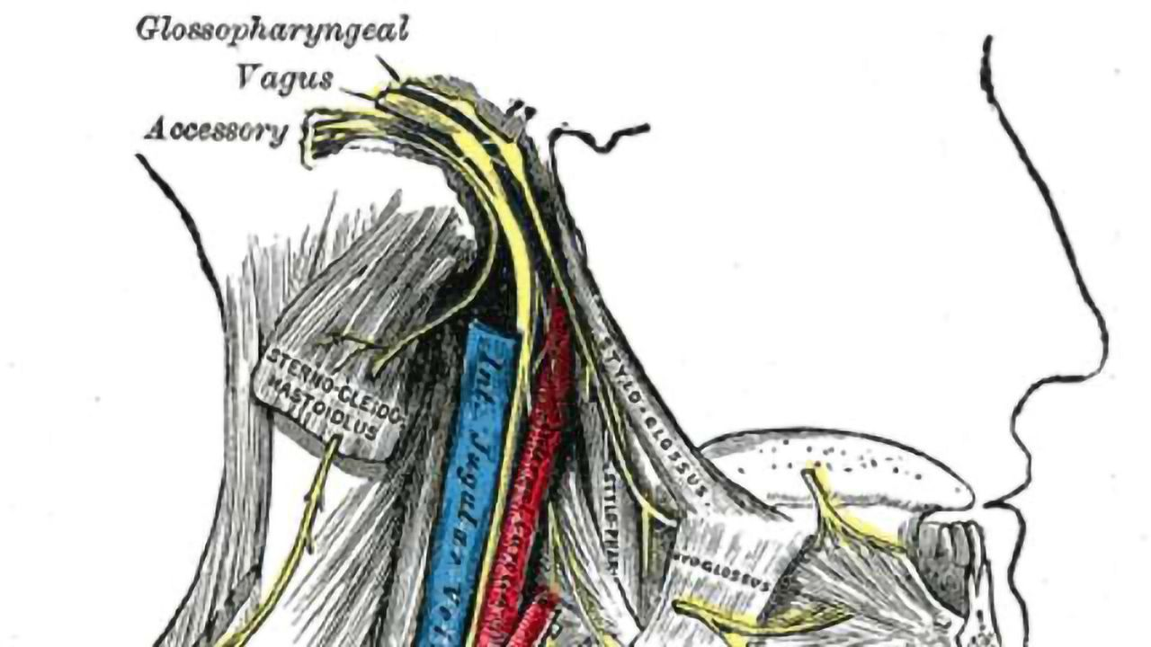 Gut Branches of the Vagus Nerve Are Essential Components of the Brain's Reward and Motivation System