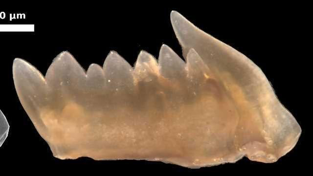 Ancient Predator Teeth Could Regenerate