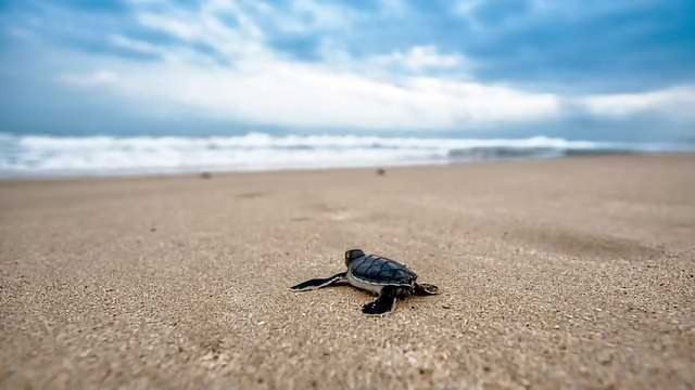 Are Turtles a Reliable Measure of Ocean Pollution?