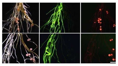 Roots, Shoots and Leaves: How Plants Keep Symbionts in Check