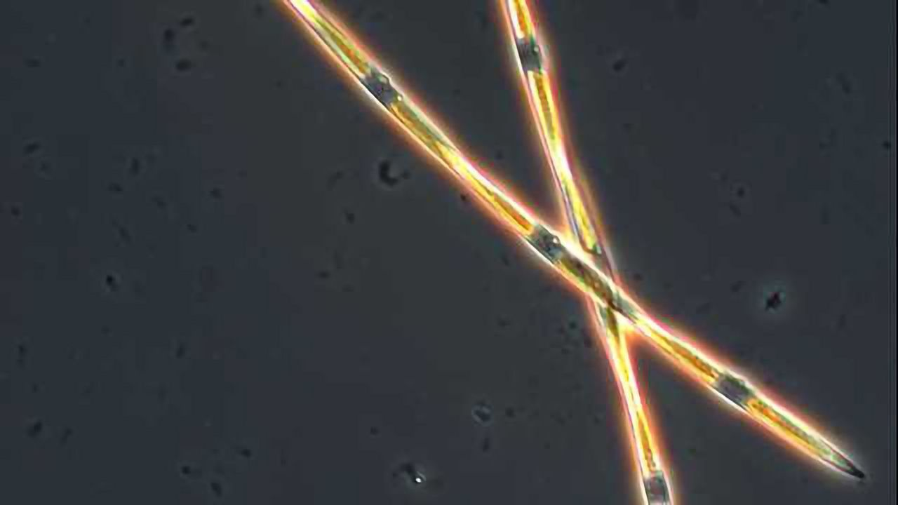 A Genetic Answer to Why Algal Blooms Become Toxic