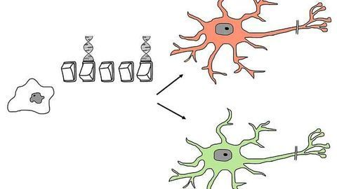How To Differentiate Human Stem Cells to Neurons
