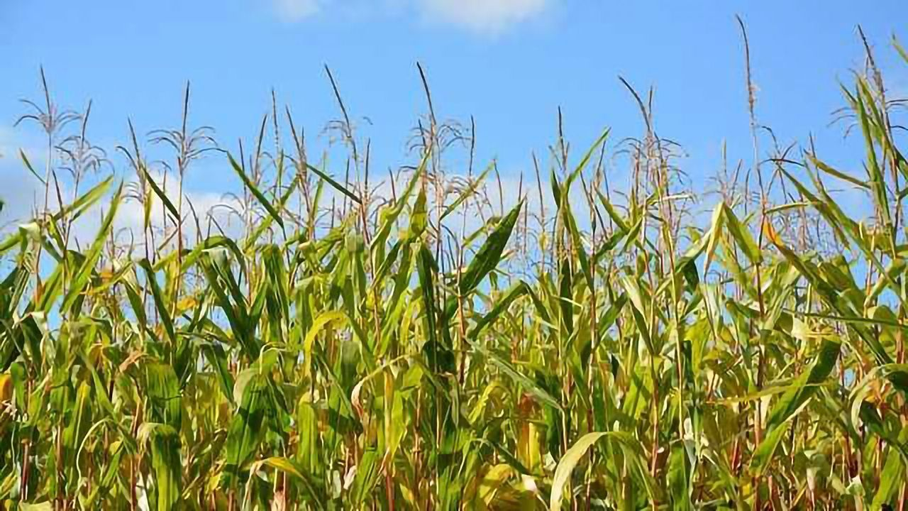 Improving Crop Yield by Turbocharging Photosynthesis