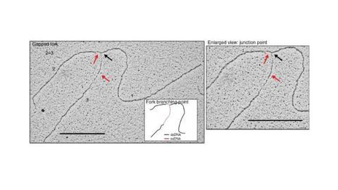 How the Cell Protects DNA from Degradation