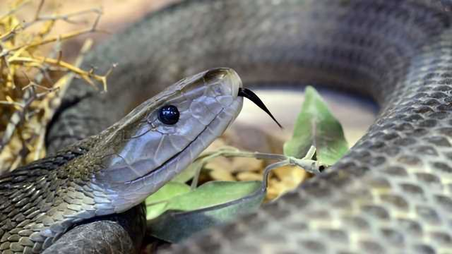 Scientists Develop Recombinant Human Antibody Panel Against Snake Venom