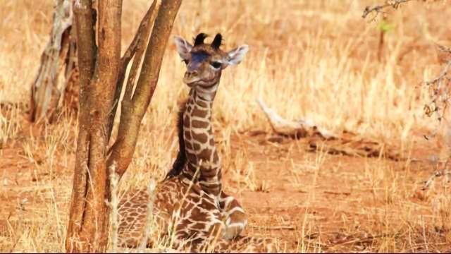 How Baby Giraffes Inherit Their Spots