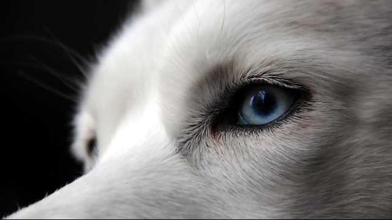 Why Huskies Have Blue Eyes