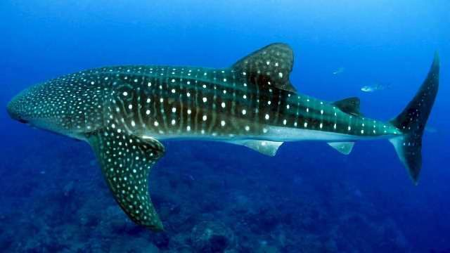 """Why Sharks are Genomic """"Living Fossils"""""""