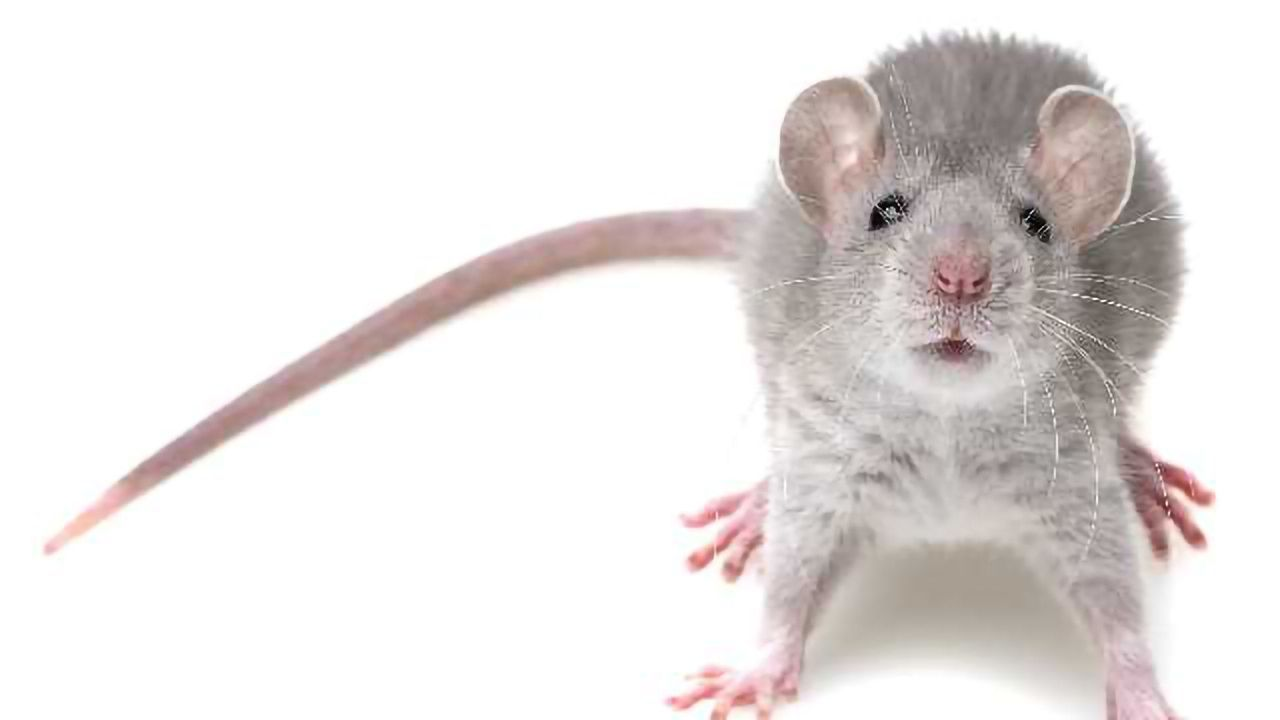 Choosing More Than Cheese: Mice Are Closer to Primates than Rats in Decision Making