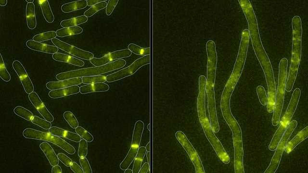Bacteria have Familiar Weapon in War