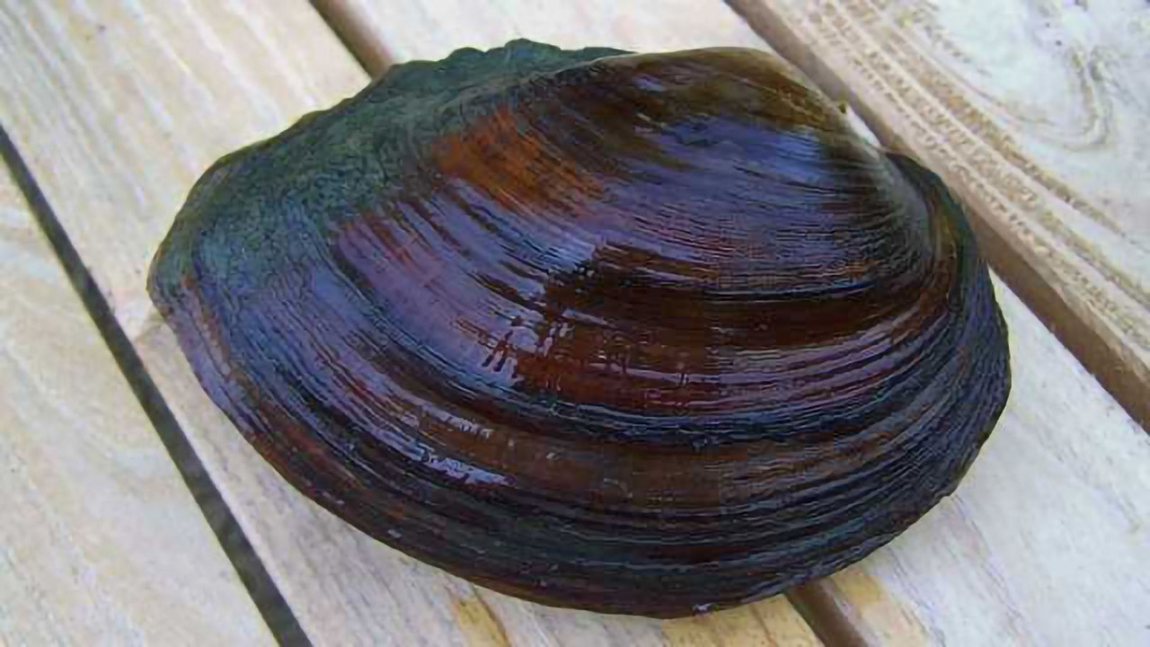 Fracking Waste Accumulates in Freshwater Mussels