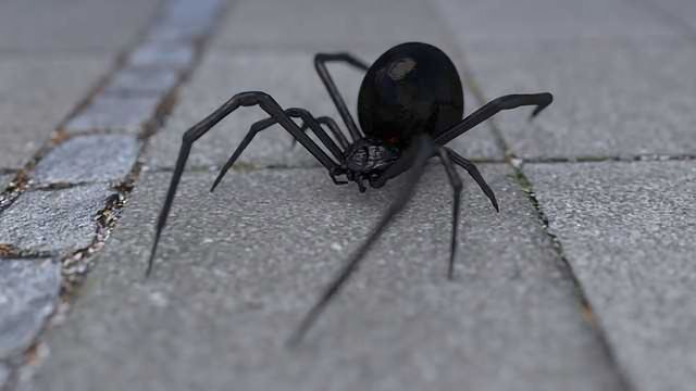 How Does the Black Widow Get Its Strength?