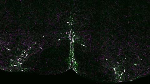 Serotonin Signaling Implicated in SIDS Research
