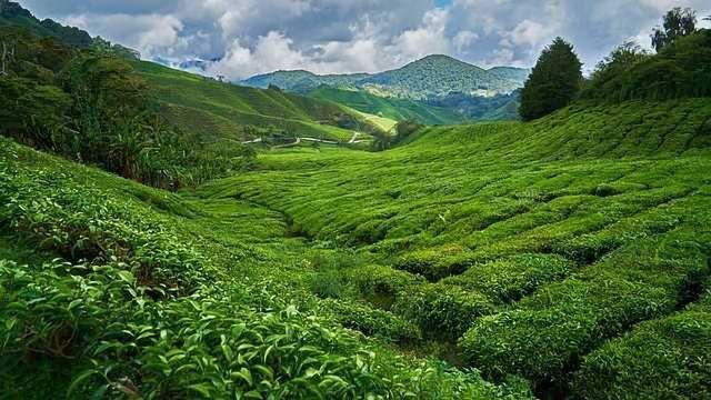 Naturally Caffeine-Free Tea Plant Found
