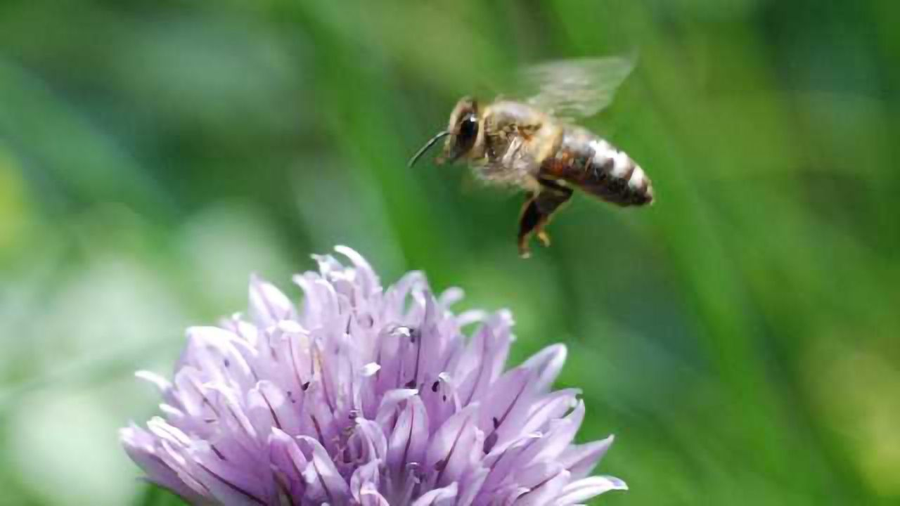 Drone to Drone: Can Bees Help Make Better Flying Robots?