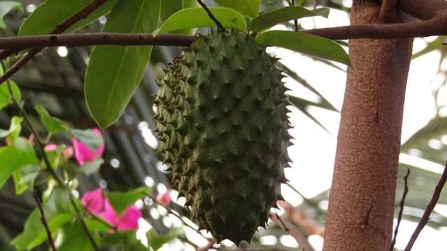Soursop Leaf Extract can Prevent the Symptoms of Fibromyalgia