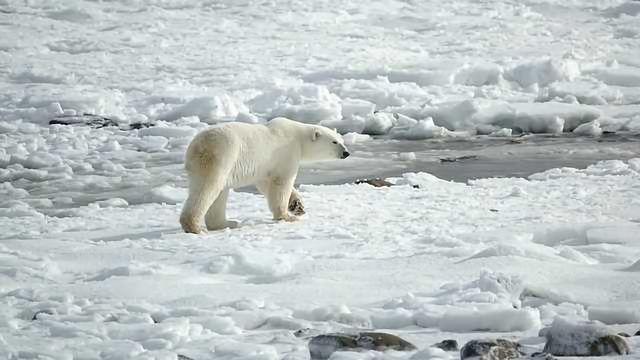 Polar Bears' Worrying Indicator of Contamination