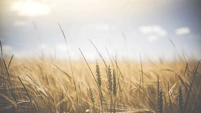 Revealing Insights: Rust Resistance in Wheat