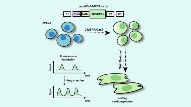 Process Makes Stem Cell-derived Heart Cells Light Up