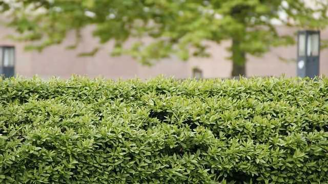 Hedges Needed to Reduce Damaging Near-Road Pollution