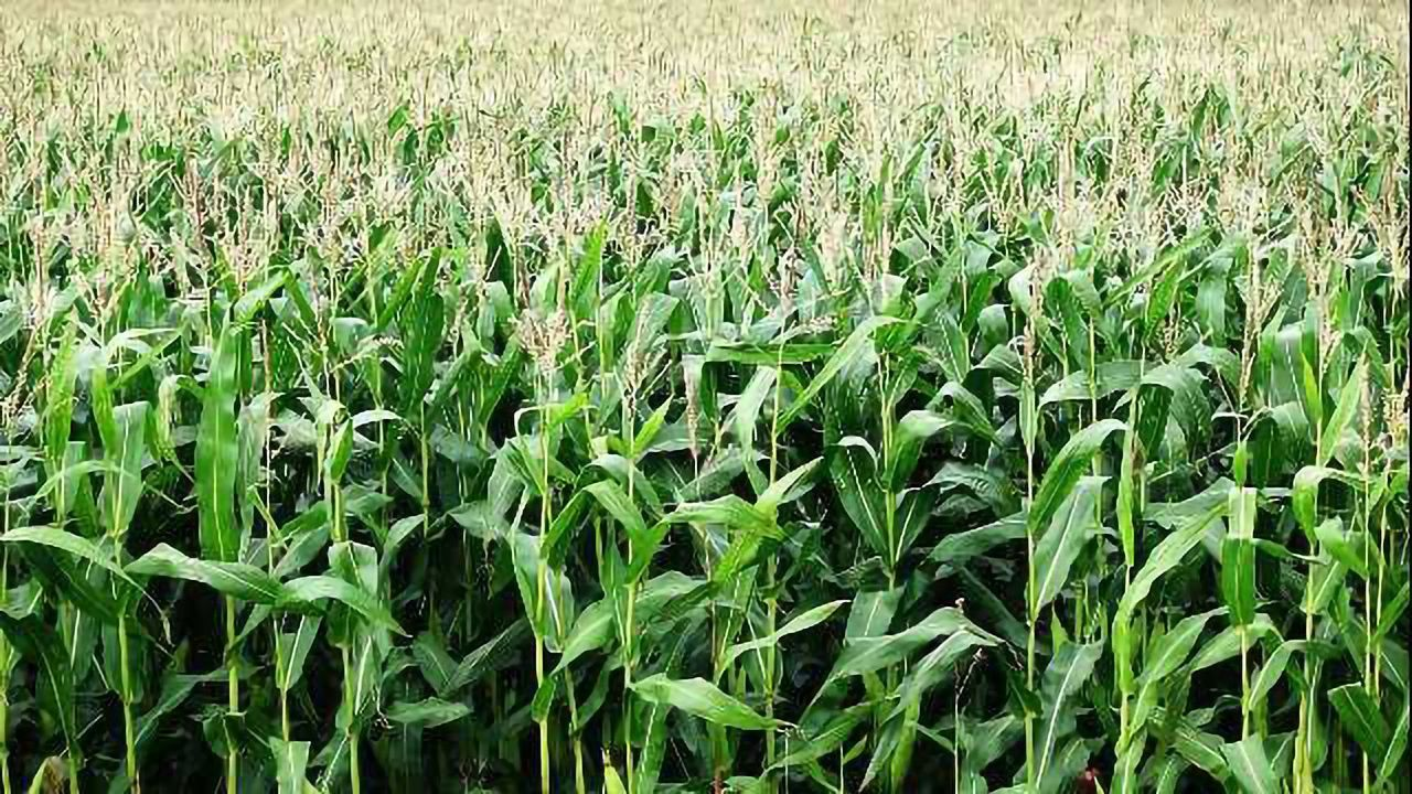 Maize Genome Analysis to Fuel Improvements in the World's Most Important Grain