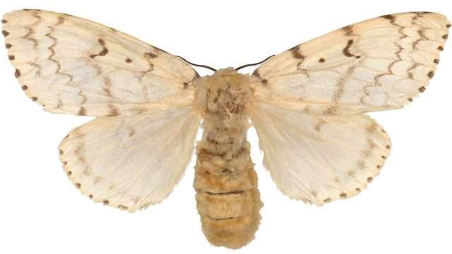 Small Moth's Big Genome Could Be Key to Ending Deforestation