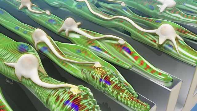Neurons Integrate Better with Muscle Grown on Grooved Platforms