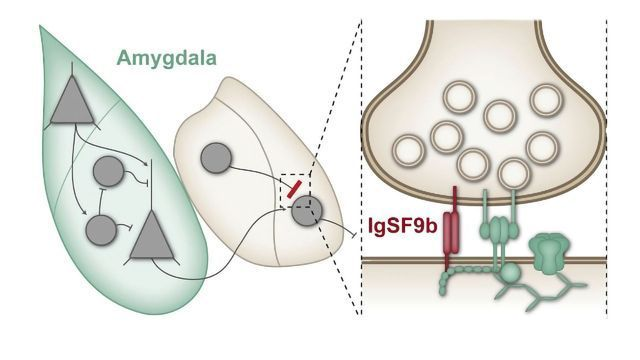 Synaptic Protein Regulates Anxiety Behavior in Mice