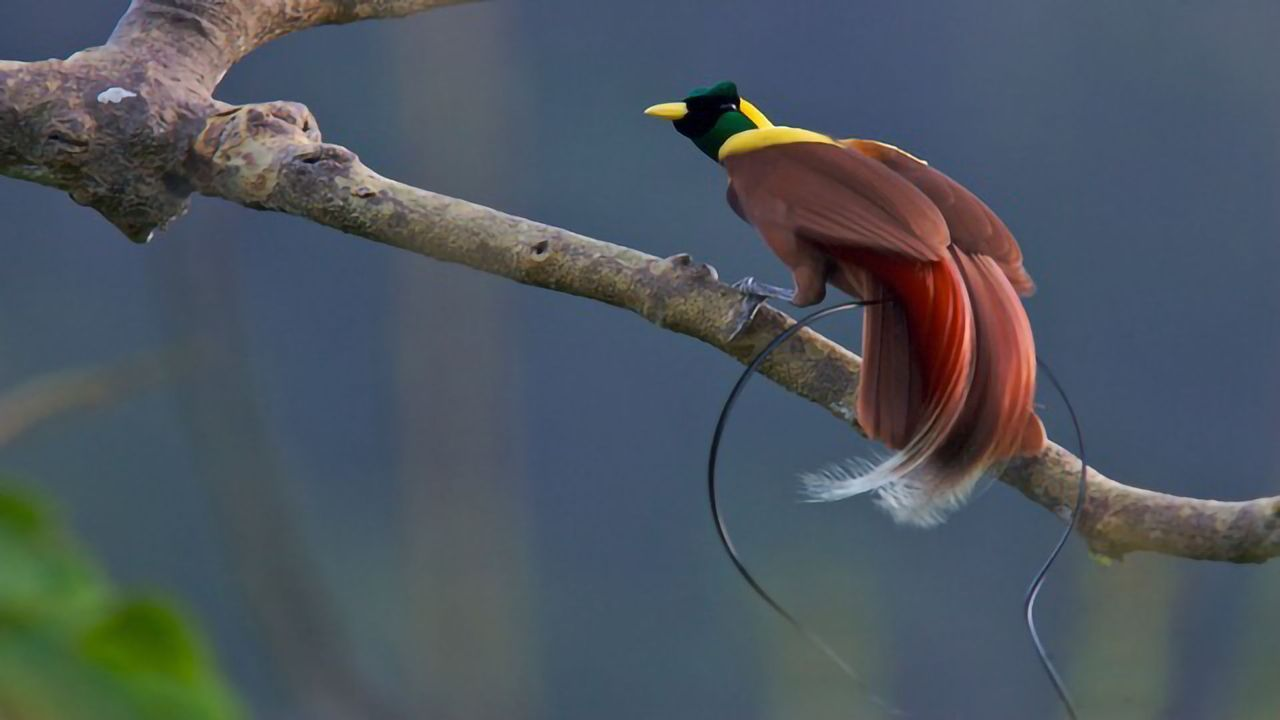 Birds-of-Paradise: Novel Genome Findings
