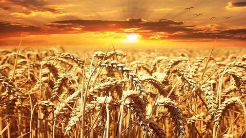 Harvesting Wild Genes Gives Crops Renewed Resistance to Disease