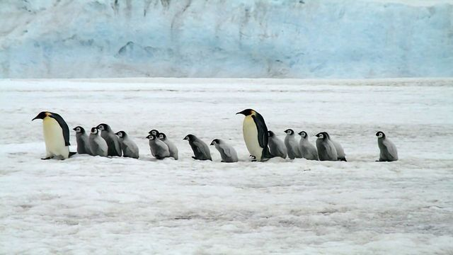 Happy Feet: When and Why Did Penguins Evolve?