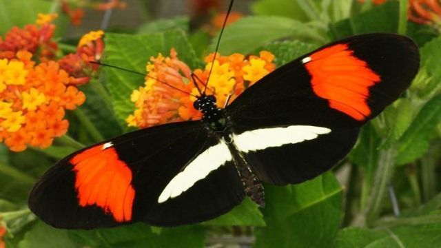 Genetics Dictate Butterfly's Choice in Mating Partners