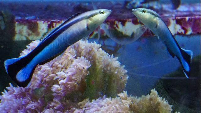 Tiny Fish Can Recognize Itself in the Mirror