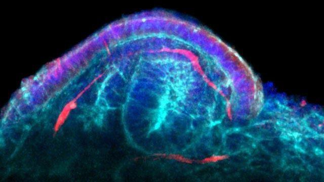 Method Maximizes the Potential of Miniature Kidneys