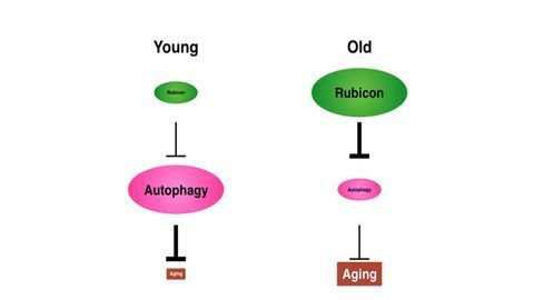 Rubicon Alters Autophagy in Animals During Aging