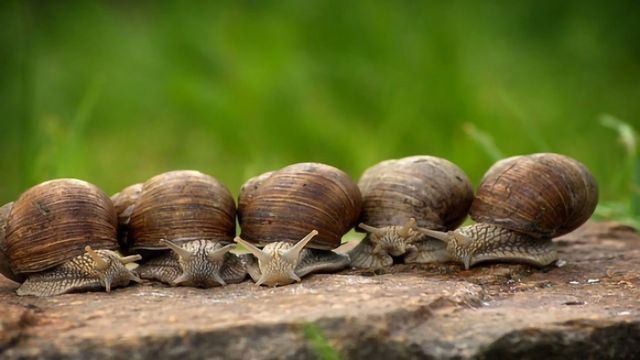 Snails: Right-handed or Left-handed?