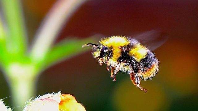Genetics May Help Us Save the Bees