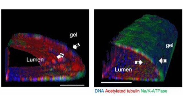 Adult Stem Cell-Derived Kidney-on-a-Chip in Nature Biotechnology