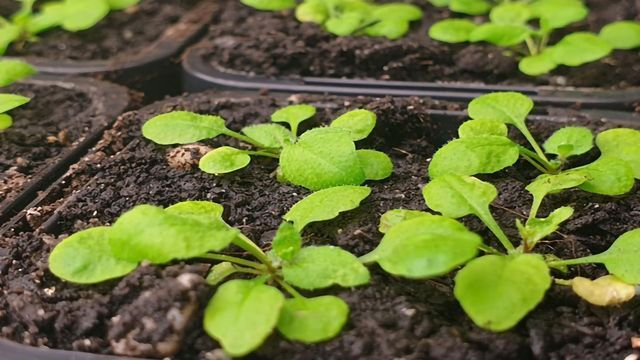 How Plants Transfer Immunity