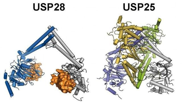 Differences Between Two Cancer-promoting Enzymes Discovered