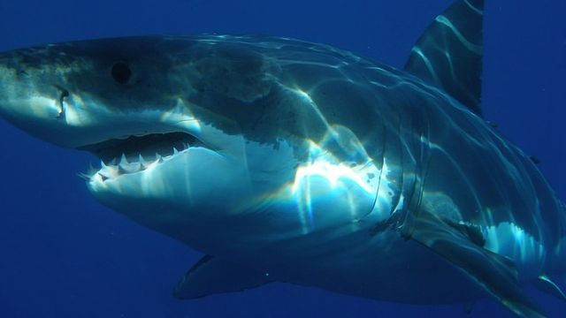 Are Sharks Protected From Harmful Effects of Heavy Metals?