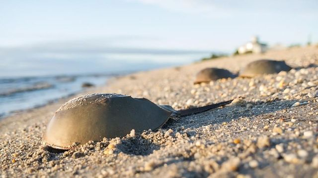 Spotlight on Sustainable Endotoxin Testing to Support Horseshoe Crab Conservation at Lonza's 5th Endotoxin Testing Summit